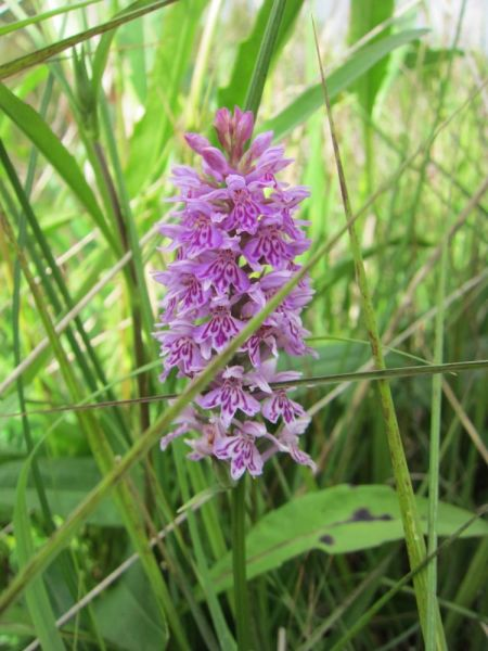 SMLwild-orchid