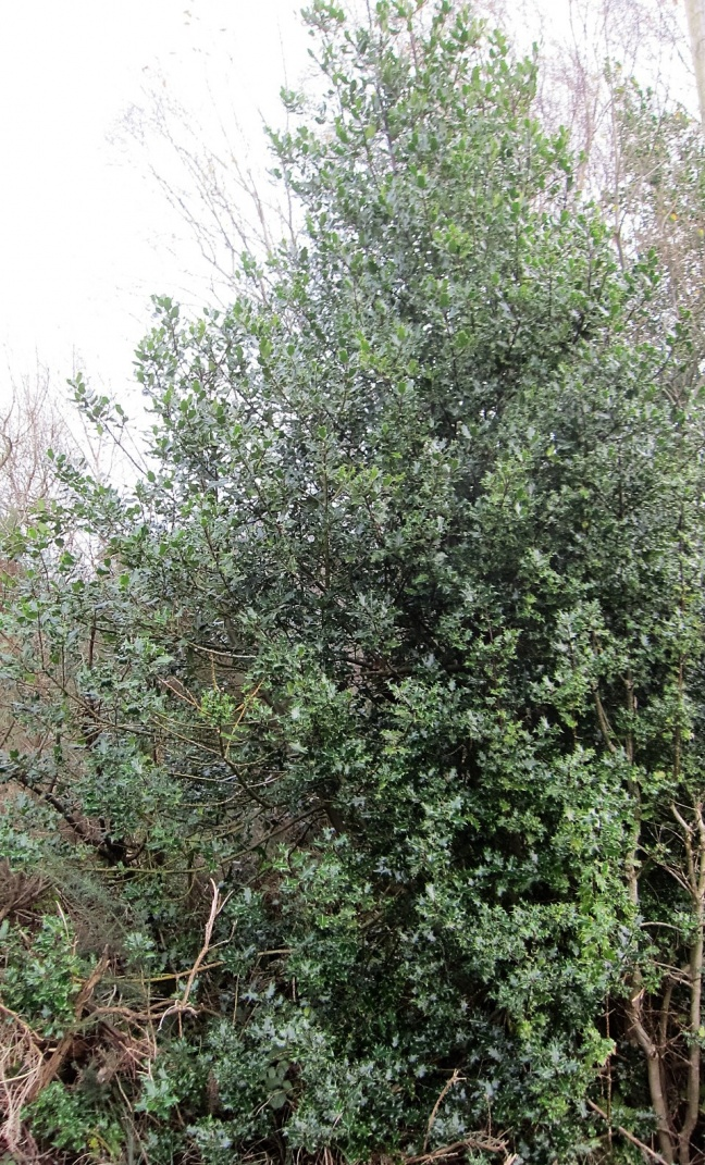 December Plant of the Month;  Holly