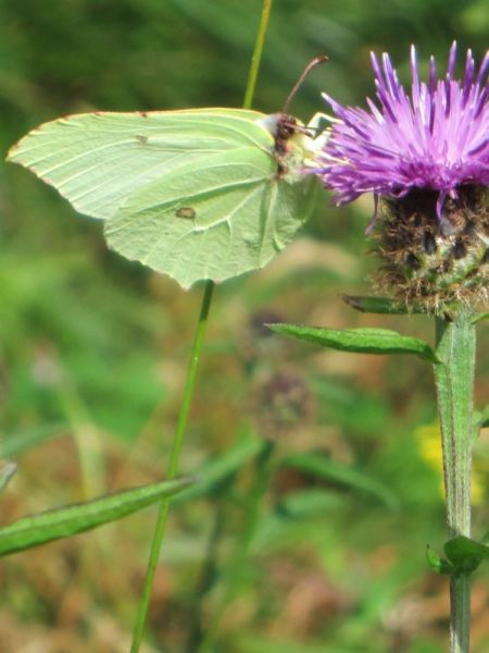 SMLBrimstone-butterfly-on-knapweed