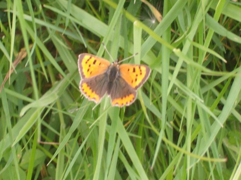 SMLCopy-of-small-copper-butterfly-kilteevan-8-May-82011-037