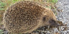 Helping Hedgehogs and a Survey
